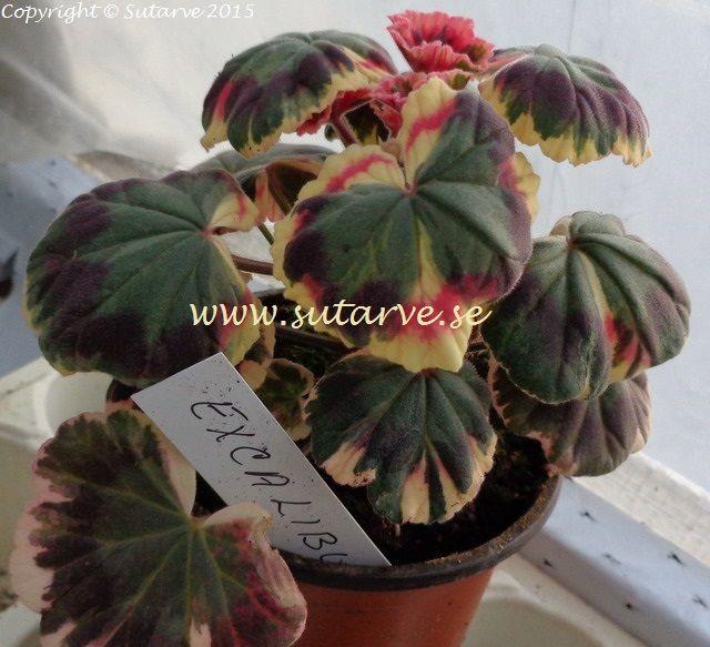 Excalubur / Planta
