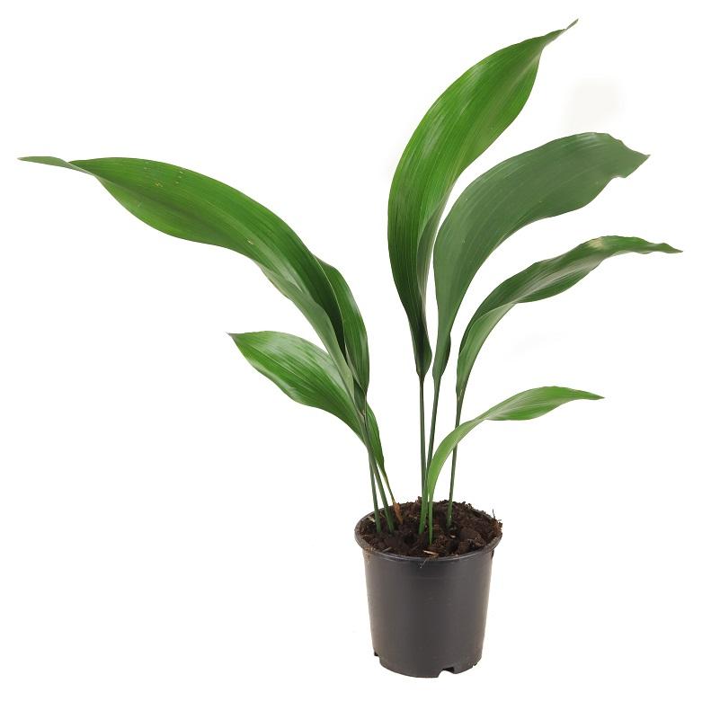 Aspidistra Elatior Aspidistra Wyniosla Zielony Parapet Plant Leaves Plants Parapet