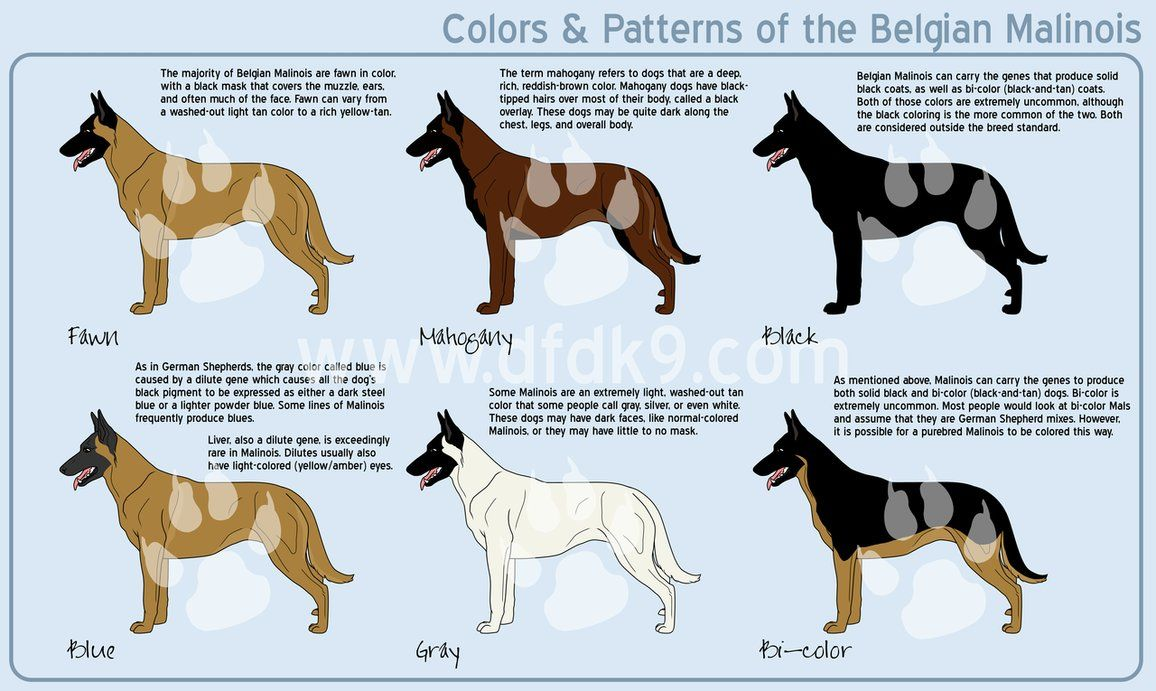 Belgian Malinois Colors By Mausergirl On Deviantart Belgian Malinois Puppies Belgian Malinois Dog Belgian Malinois
