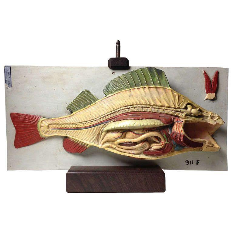 Fish Anatomy Model by Auzoux