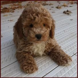 bichon frise puppies brown - Google Search | Puppies