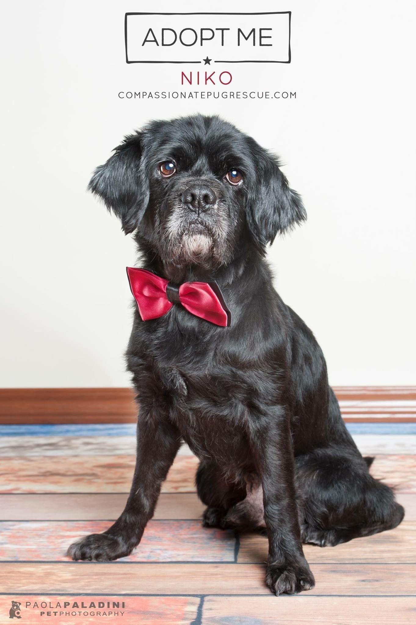 Cocker Pug Dog For Adoption In Fort Lauderdale Fl Adn 664722 On