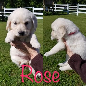 Litter Of 5 Golden Retriever Puppies For Sale In Mount Pleasant
