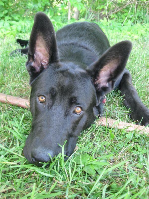 Black German Shepherd Lab Mix Puppy Says Please Play Fetch My