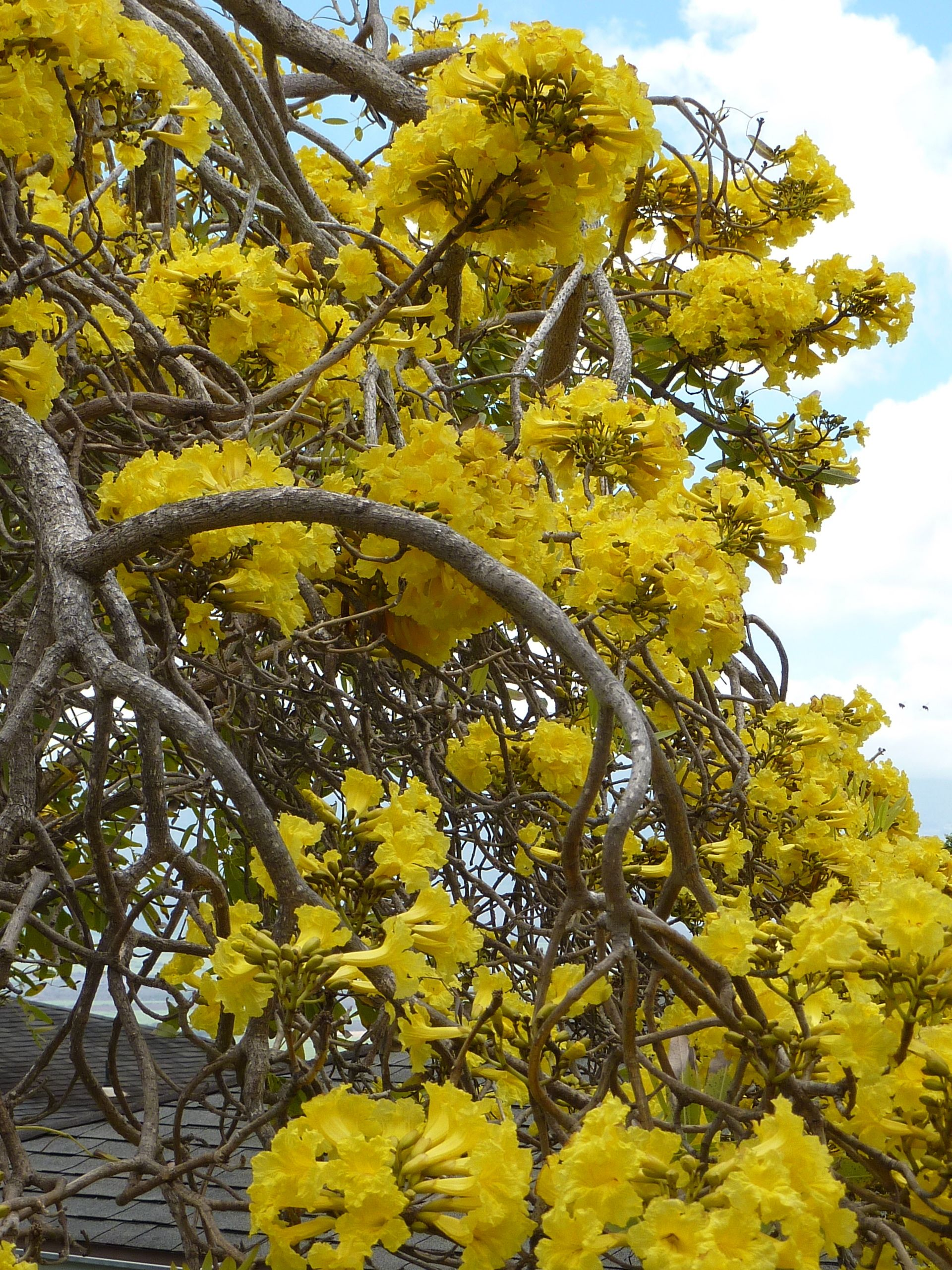Yellow flowering tree mauiyone know its name exotic yellow flowering tree mauiyone know its name mightylinksfo Gallery