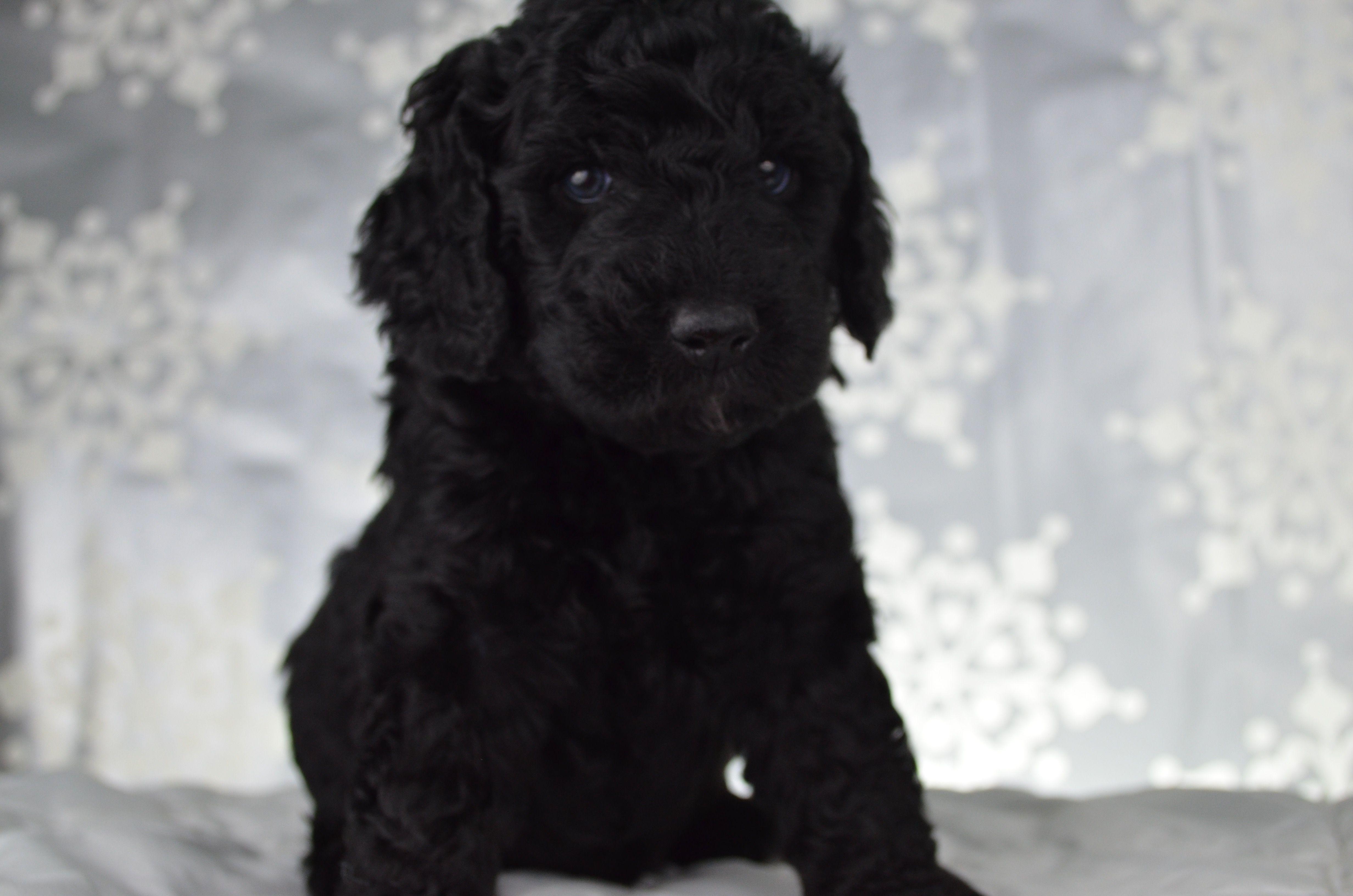 Mini Goldendoodle Puppy for sale Goldendoodle breeders