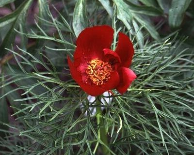 Tenuifolia (single) - Very Early Tenuifolia Specie, single, red, single red flowers of the true fern leaf peony used by hybridizers, clear crimson red cups, plant in full sun in well drained soil, grows naturally in the Ukraine and about the precipices on the borders of the Tanais the Volga and the Terek, very nice garden plant, it belongs to the dwarf group, (wild specie). www.peonyshop.com