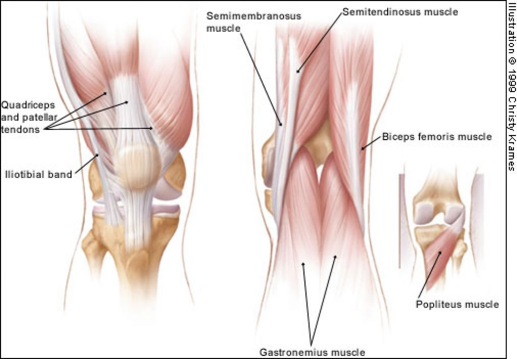 Posterior Knee Muscles | ANATOMY for ART - ARMS & LEGS | Pinterest ...