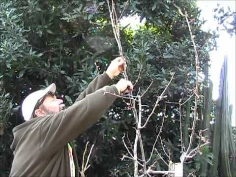 Peartreepruning Youtube C Watch V Otpvrlted3e Youtube C Channel