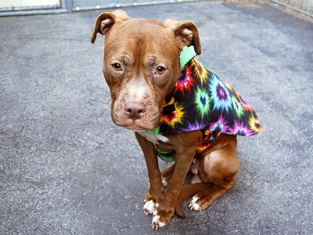 TO BE DESTROYED - 03/21/15 Manhattan Center-P My name is MANDY. My Animal ID # is A1028680. I am a female brown and white pit bull mix. The shelter thinks I am about 1 YEAR 1 MONTH old. For more information on adopting from the NYC AC&C, or to find a rescue to assist, please read the following: http://urgentpetsondeathrow.org/must-read/