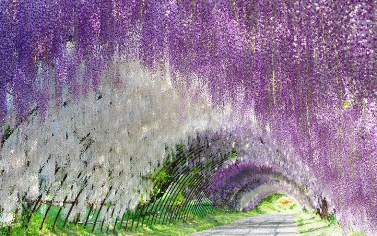 Ashikaga Flower Park Access And Best Times To Visit Japan Rail Pass Wisteria Tunnel Climbing Plants Wisteria
