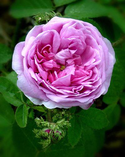 Chapeau De Napoleon Rose Mit Bildern Rosen Rose Foto Ideen
