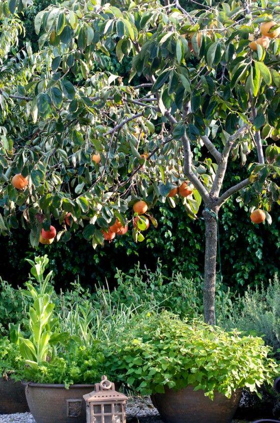 Persimmon Tree S Overwatering Loss Of Fruit Flower Fuyu Persimmon Tree Italian Cypress Trees Plants