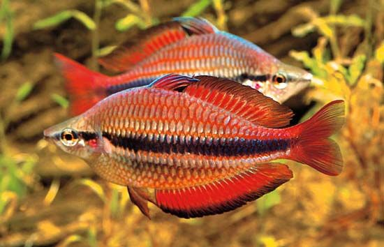 Banded Rainbowfish Melanotaenia Trifasciata With Images