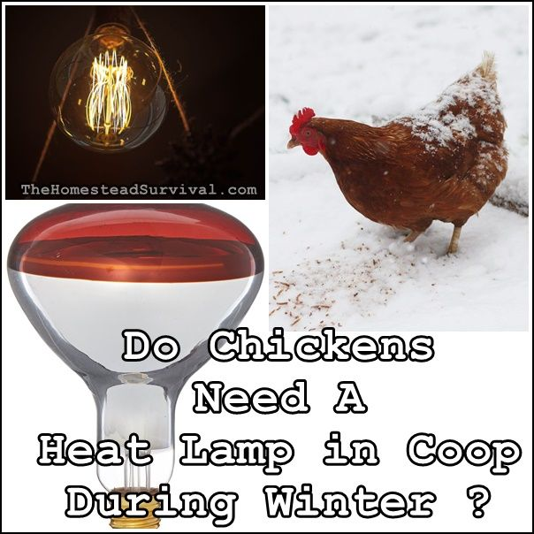 Do Chickens Need A Heat Lamp In Coop During Winter