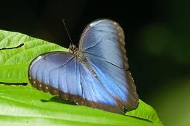 Photographer Scott J Hein  Blue Morpho Butterfly, Pipeline Road near Gamboa, Republic of Panama