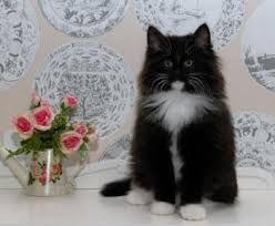 Image Result For Norwegian Forest Cat Price Norwegian Forest Cat Norwegian Forest Cat Price Norwegian Forest Kittens