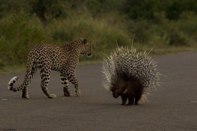 Leopard vs Porcupine