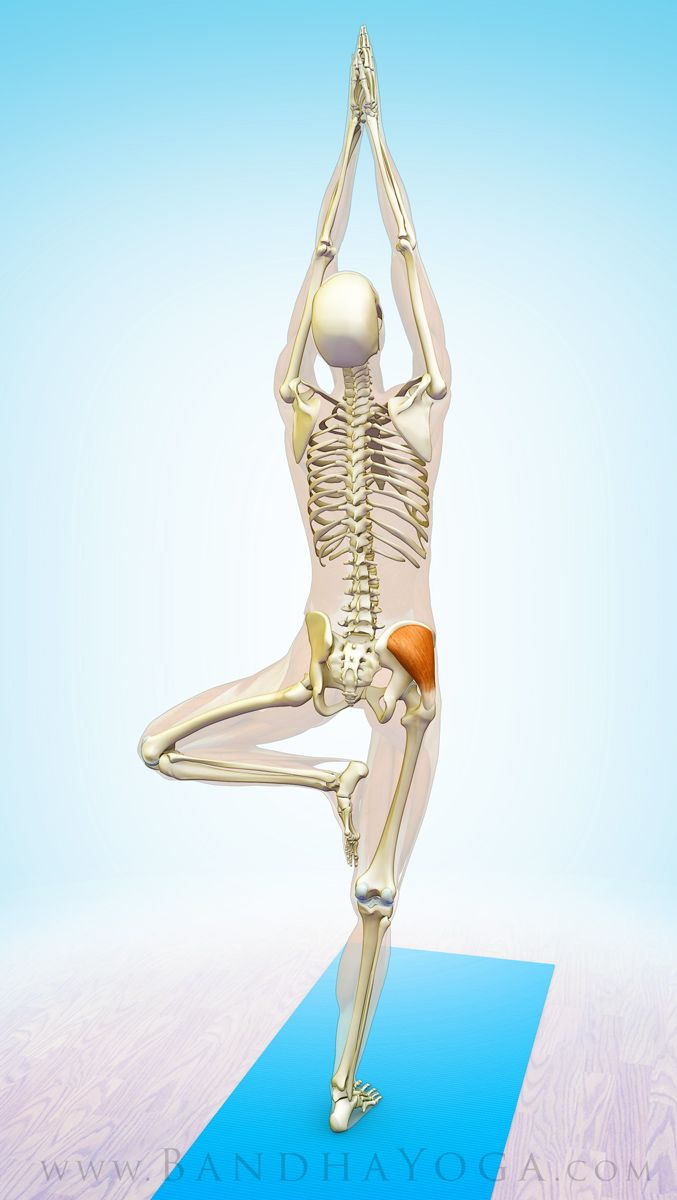 Figure 2 The Gluteus Medius Stabilizing The Pelvis In Tree Pose