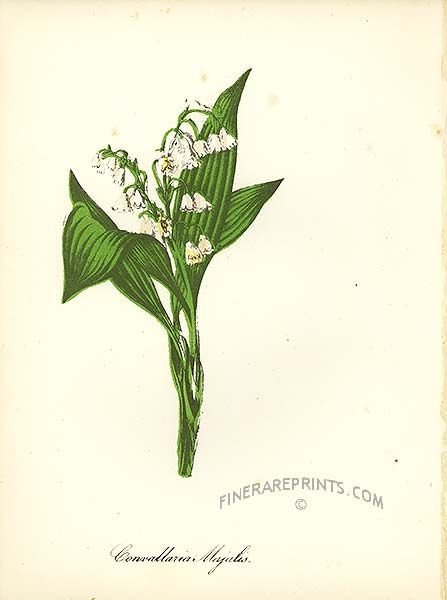 Genuine Antique Print Of Lily Of The Valley Convallaria Majalis From American Flowers And Fruit By John Keese Lily Of The Valley Pictures Of Lily Lily Flower