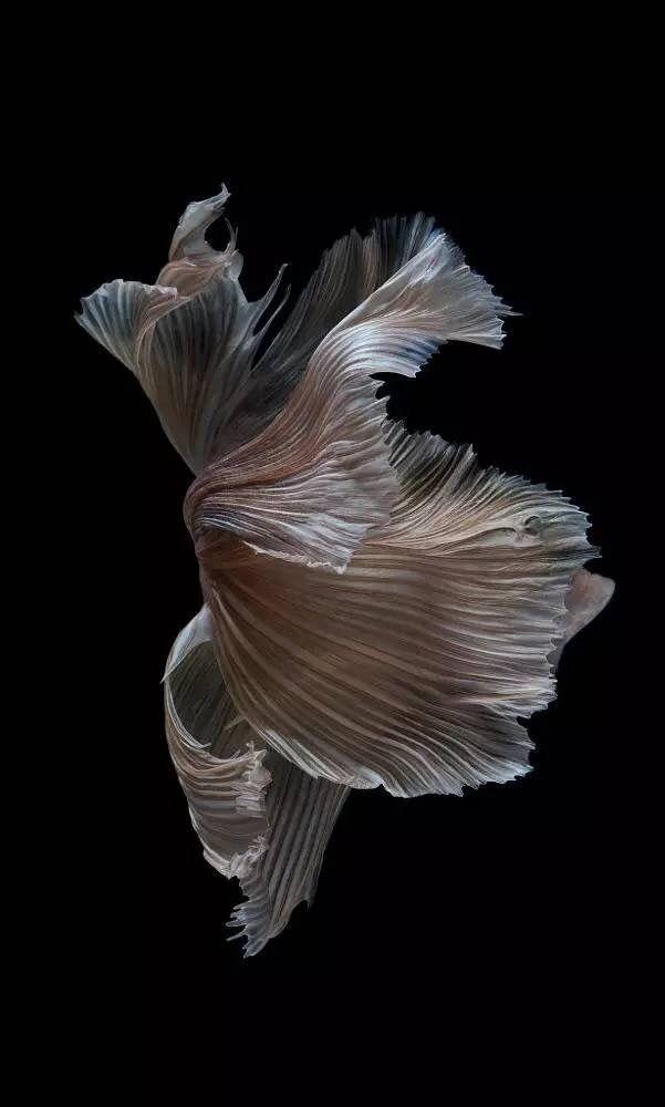 苹果手机里的斗鱼壁纸 原来是他拍的 Sea Creatures Art Fish