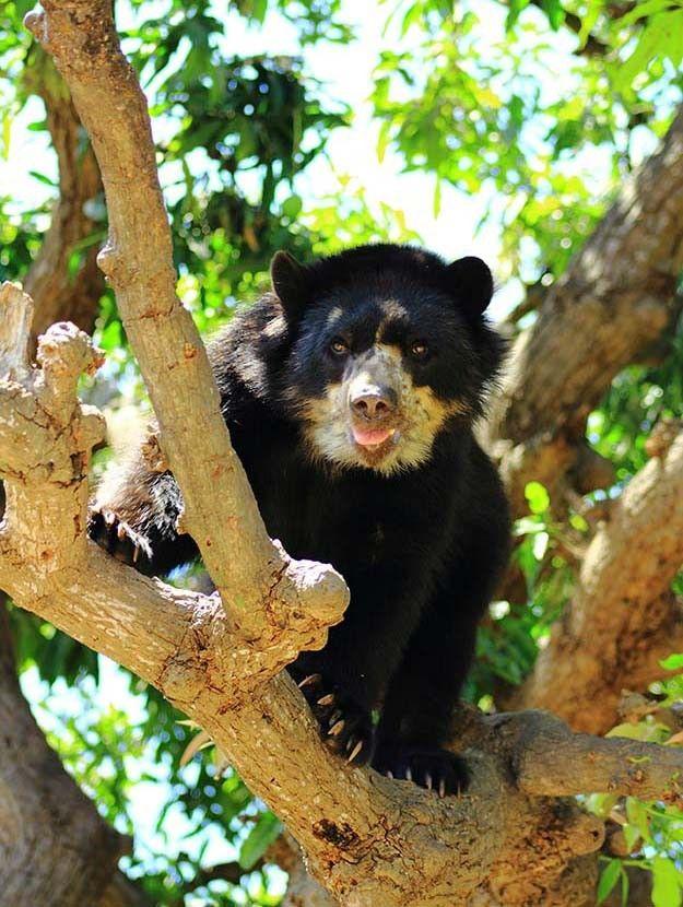 """Oso cuatro ojos.  La foto del lector que elegimos esta semana fue captada en la Reserva Ecológica de Chaparro, situada en el distrito de Chongoyape, departamento de Lambayeque, en el norte del Perú.  Su autor, Luis Antonio Miranda Vargas, comenta sobre esta imagen: """"Les adjunto una foto de un ejemplar macho de oso de anteojos, también conocido como oso andino (Tremarctos ornatus). Actualmente es una especie declarada en peligro de extinción por su baja densidad poblacional en su estado…"""