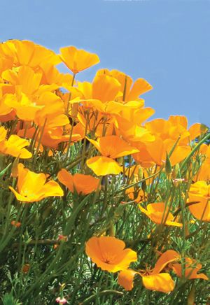 California Poppies: Rich golden satiny flowers 2