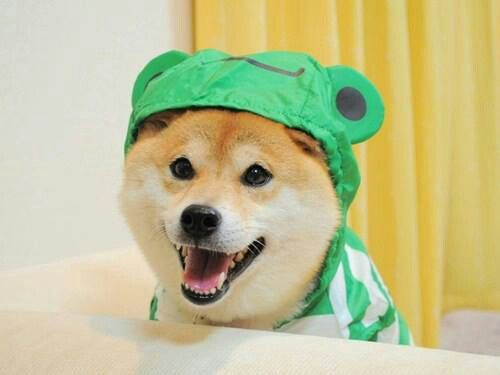 Hes Got A Frog Suit Doge Meme Shiba Inu Doge