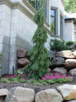 Pin By Diana Madsen On Dr Seuss Garden Evergreen Landscape Front Yard Garden Dwarf Evergreen Trees