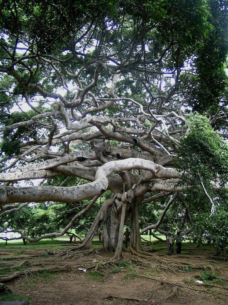 Javan fig tree, Peradiniya Botanical Gardens, Kandy, Sri Lanka