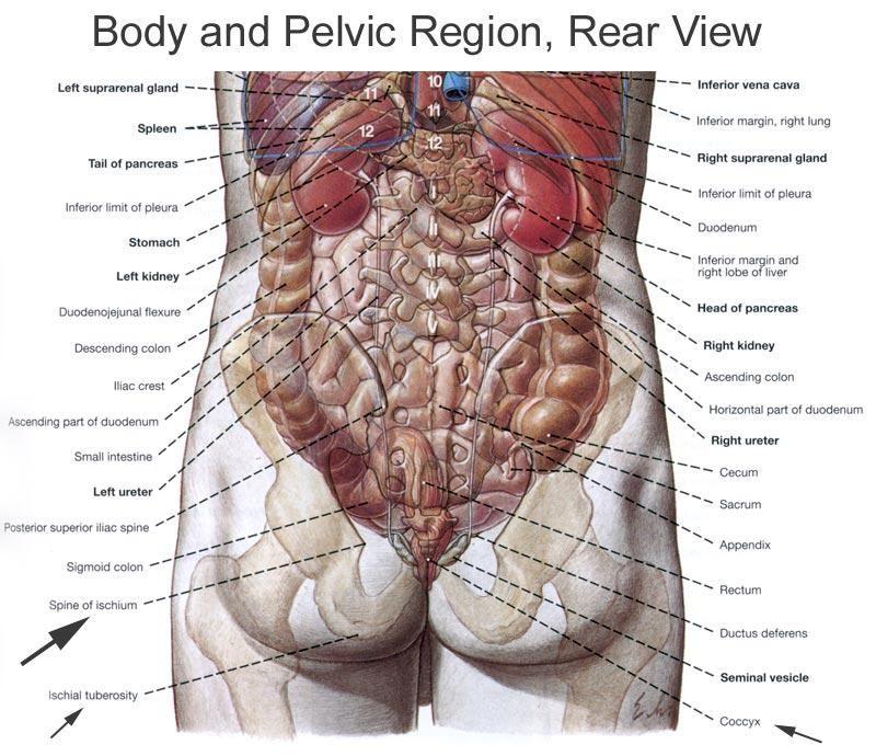Human Anatomy Organs Source Anatomy A Regional Atlas Of The Human