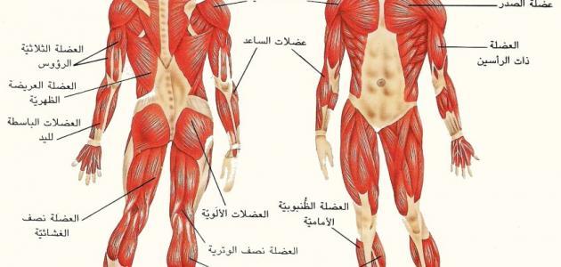 أنواع العضلات Human Body Human Body