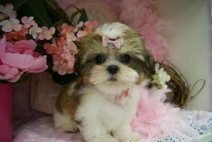 Micro Tiny Teacup Shih Tzu Shih Tzu For Sale Teacup Shih Tzu