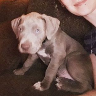 Lostpuppy Lost Blue Nose Pitbull Puppy Wichita 67214 Kansas