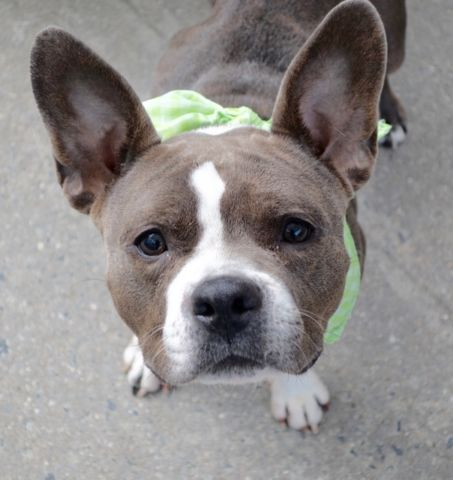 BELLA MAE aka BELLA - A1094364 - - Manhattan Please Share:TO BE DESTROYED 10/30/16 **NEEDS A NEW HOPE RESCUE TO PULL** A volunteer writes: I think that Bella Rae is a French BullDog crossed with a Boston Terrier. The result is really cute ! Bella Rae is with us as her family moved to a place not allowing dogs. She lived happily with a 12 year old child and played nicely with her peers. She comes with wonderful comments and seems to have been a very loving pet. Bella Rae is