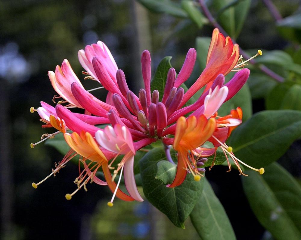 Honeysuckle flower trong 2020 Thực vật, Thiên nhiên, Hoa