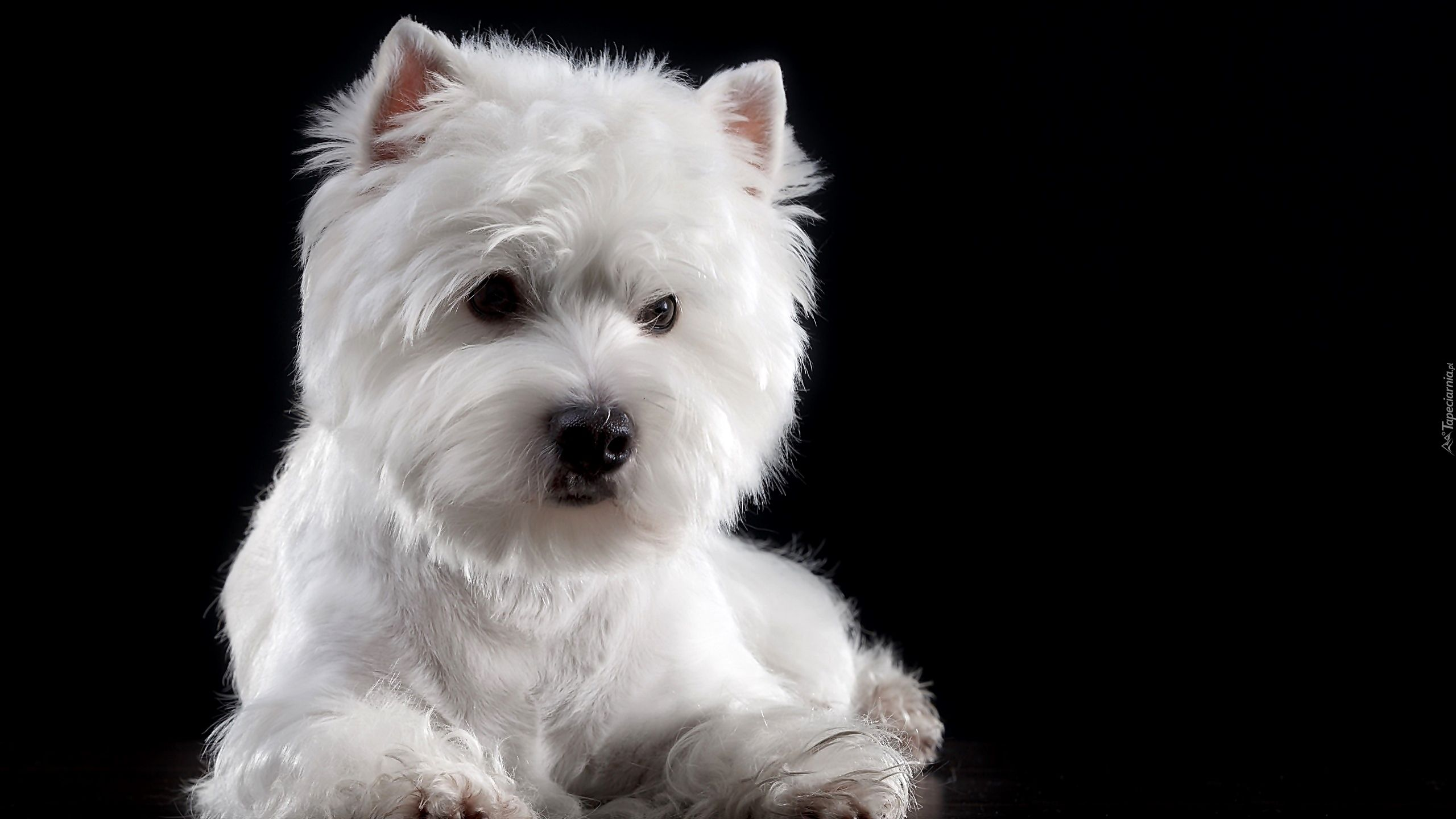 Pies West Highland White Terrier Mordka Bialy Ciemne Tlo Bichon Frise Bichon Curly Dogs