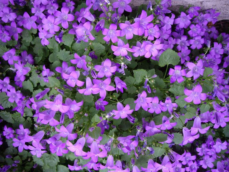 Campanula Portenschlagiana Purple Flowering Groundcover Northern Shade Gardening