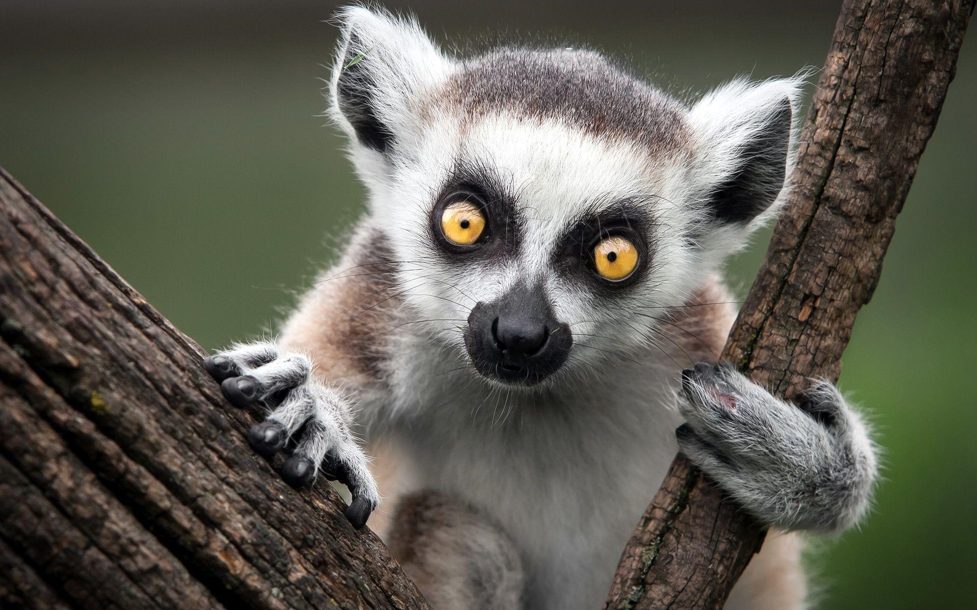 Great Lemur Wallpaper - 0bec682a266ed7c24597b17da68f7ef0  Gallery_611651.jpg