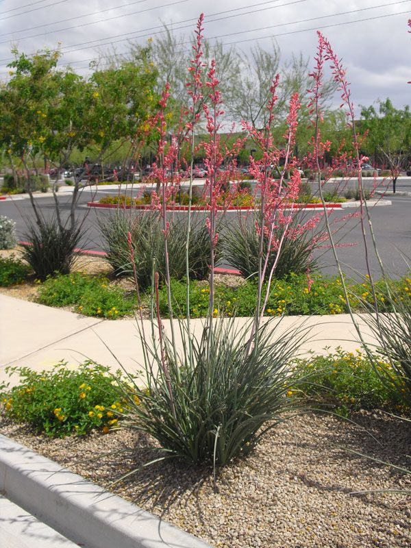 Red yucca (Hesperaloe parviflora) exteriors + outdoor loves