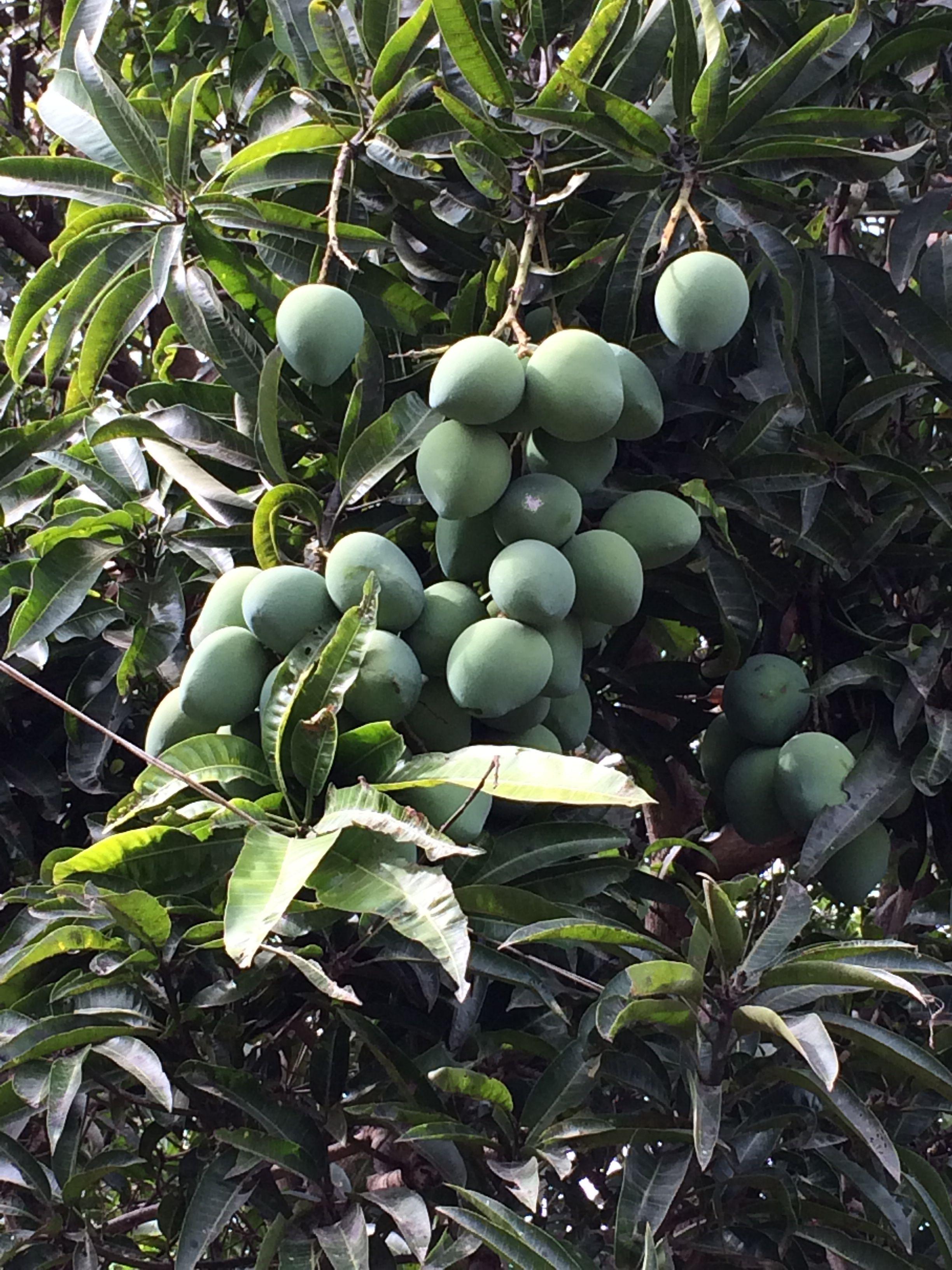 Philippine Indian Mangoes