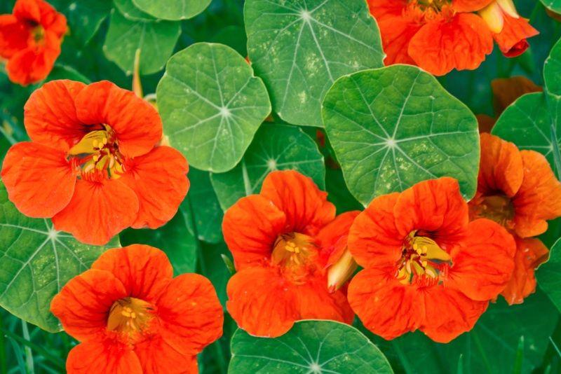 12 Best Plants For Your Trellis Photos Plants That Repel Flies Plants Nasturtium