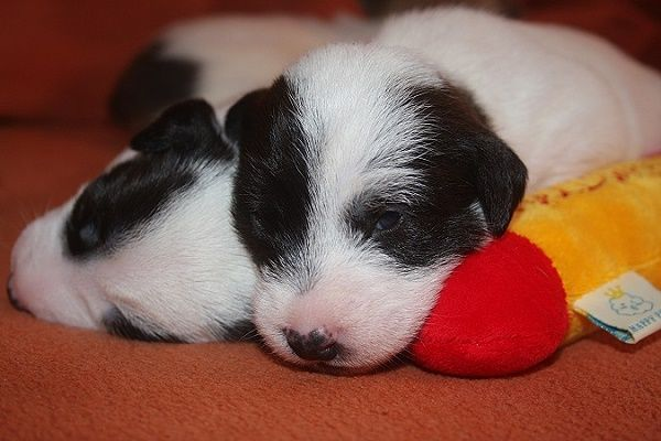 Foxbury S Parson Russell Terrier With Images Parson Russell Terrier Jack Russell Dogs Jack Russell Puppies