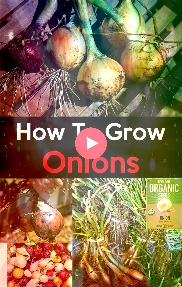 to Grow Onions in your garden It is very easy to grow grow onions  follow these simple steps on how to grow onion when and what type of onion to grow in your garden other...
