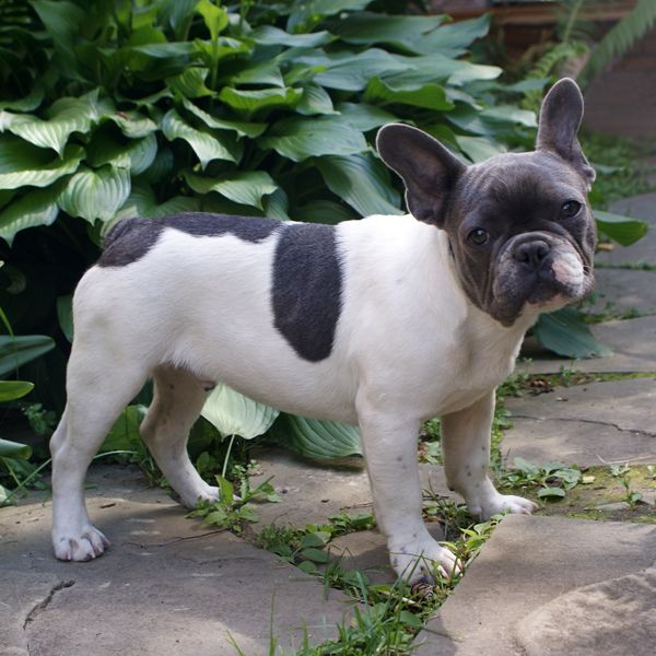 Wfs Atos Blue Pied Sold Bulldogs French Bulldog Dog French