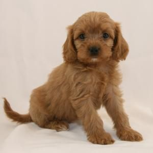 Minnesota Puppy Paws Mercedes Girl Cavapoo Pup She S Ours Puppy Paws Puppies Paw