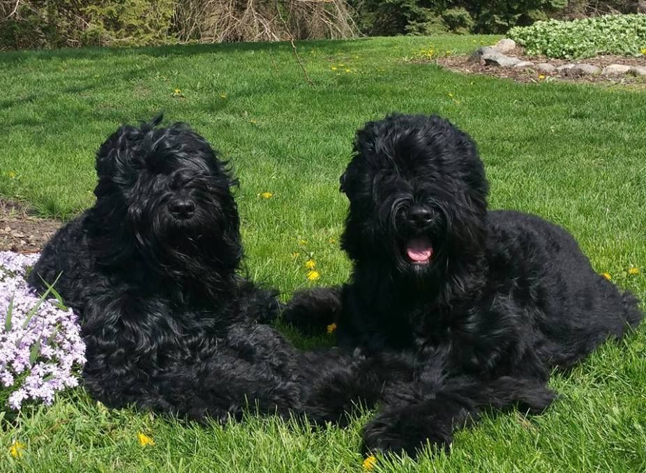 A Black Russian Terrier Just Wants To Have Fun in Sherburn