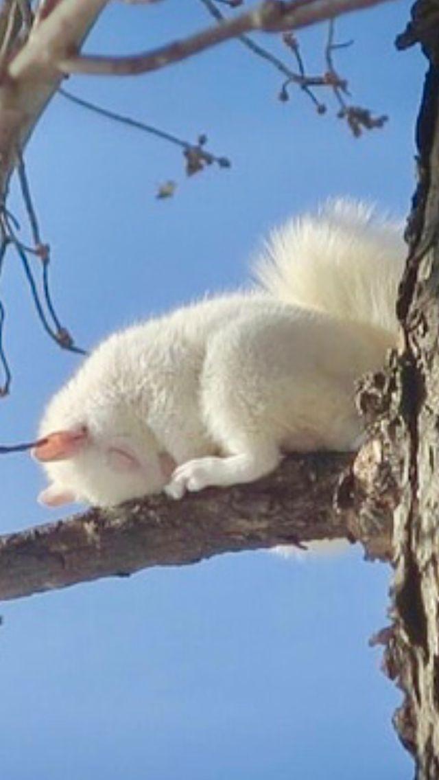 Albino Eichhörnchen schlafen. Was für ein unglaublicher