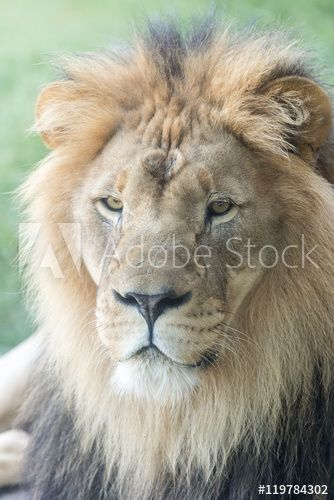 Lion Face with Mane