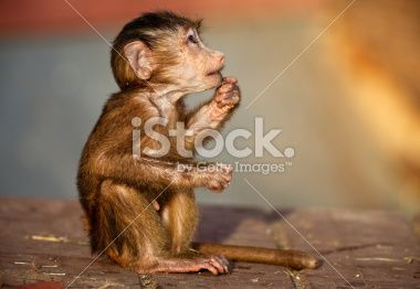 stock-photo-12492397-newborn-baboon.jpg (380×262)
